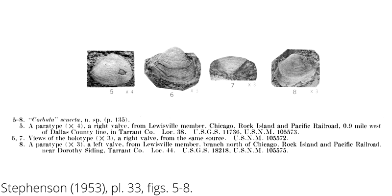 <i> Corbula senecta </i> from the Cenomanian Woodbine Fm. of Texas (Stephenson 1953).