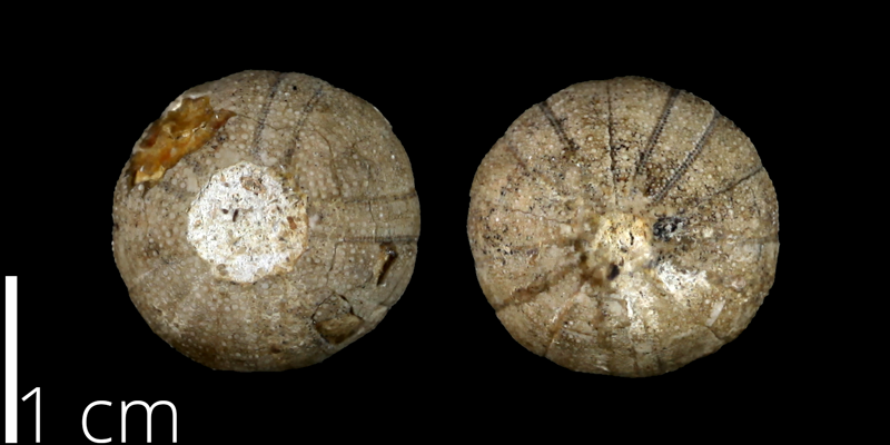 <i> Cottaldia rotula </i> from the Late Cretaceous of Travis County, Texas (UT 39034).