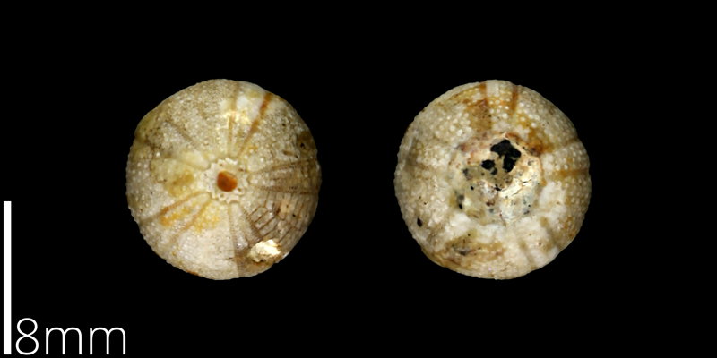 <i> Cottaldia rotula </i> from the Late Cretaceous of Travis County, Texas (UT 39037).