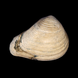 Crassatella vadosa