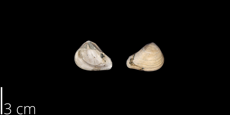 <i> Crassatella vadosa </i> from the Maastrichtian Owl Creek Fm. of Tippah County, Mississippi (UNM 14864).