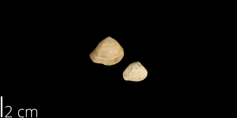 <i> Crassatella vadosa </i> from the Maastrichtian Owl Creek Fm. of Tippah County, Mississippi (UNM 14865).