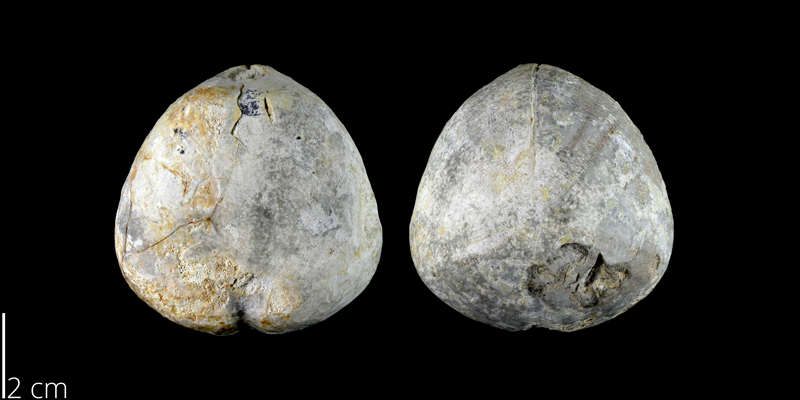 <i> Crassiholaster bexarensis </i> from the Late Cretaceous Austin Chalk of Bexar, Texas (NPL 82990).