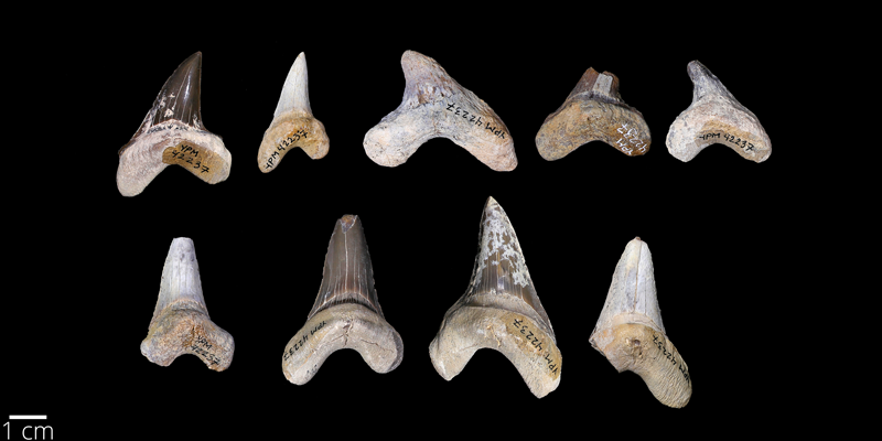 <i> Cretoxyrhina mantelli </i> from the Late Cretaceous Niobrara Fm. of Kansas (YPM 030235).