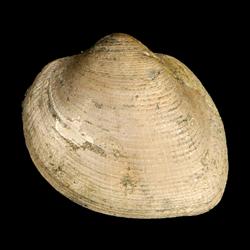 Cucullaea capax
