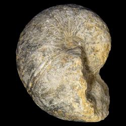 Cymatoceras texana