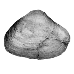 Cymbophora puteana