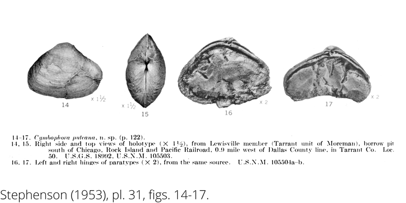 <i> Cymbophora puteana </i> from the Cenomanian Woodbine Fm. of Texas (Stephenson 1953).