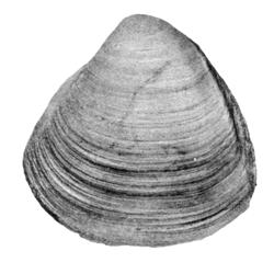 Cymbophora schucherti