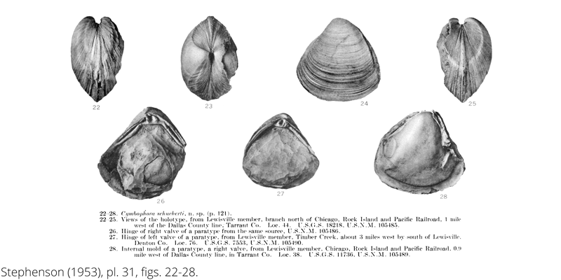 <i> Cymbophora schucherti </i> from the Cenomanian Woodbine Fm. of Texas (Stephenson 1953).