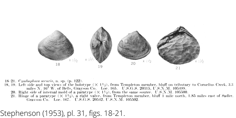 <i> Cymbophora securis </i> from the Cenomanian Woodbine Fm. of Texas (Stephenson 1953).