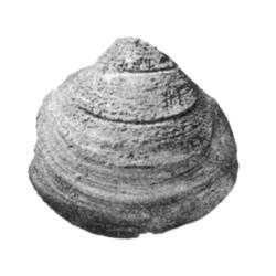 Cymbophora spooneri
