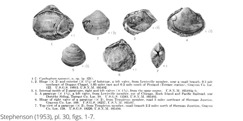 <i> Cymbophora spooneri </i> from the Cenomanian Woodbine Fm. of Texas (Stephenson 1953).