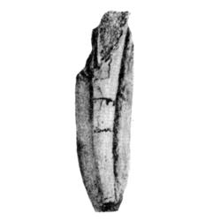 Dentalium alineatum