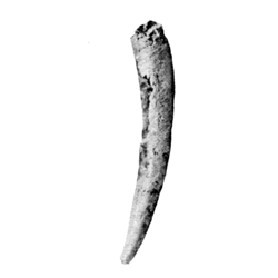 Dentalium minor