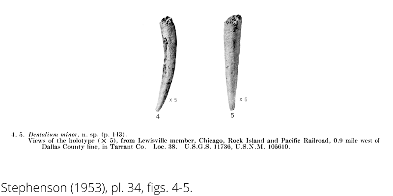 <i> Dentalium minor </i> from the Cenomanian Woodbine Fm. of Texas (Stephenson 1953).