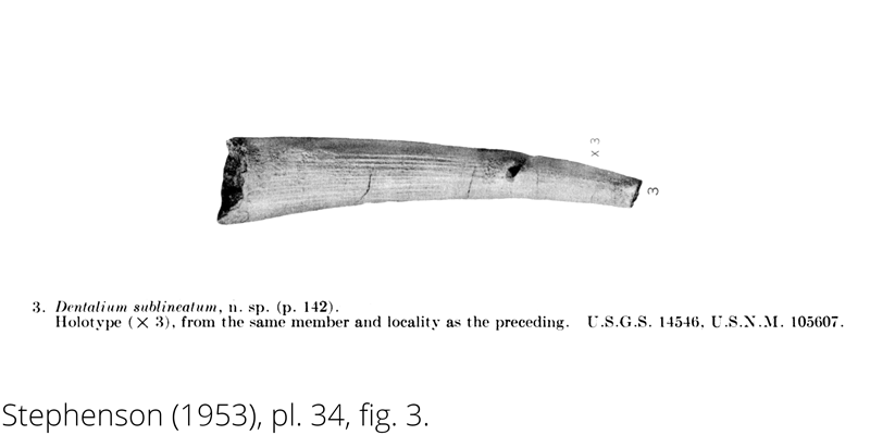 <i> Dentalium sublineatum </i> from the Cenomanian Woodbine Fm. of Texas (Stephenson 1953).