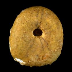 Echinobrissus angustatus