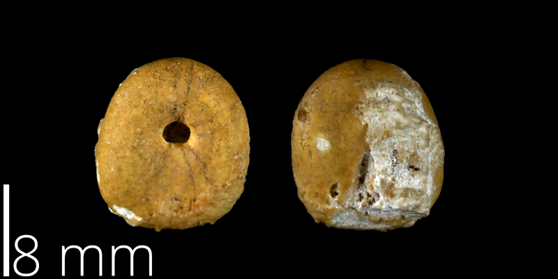 <i> Echinobrissus angustatus </i> from the Late Cretaceous Buda Limestone Fm. of Travis County, Texas (UT 39039).