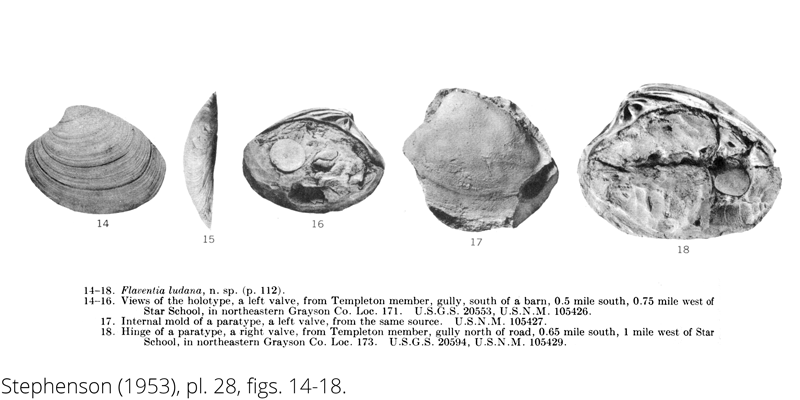 <i> Flaventia ludana </i> from the Cenomanian Woodbine Fm. of Texas (Stephenson 1953).