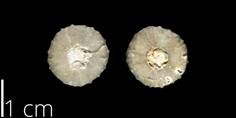 <i> Gauthieria parva </i> from the Late Cretaceous from the Austin Chalk of Bexar County, Texas (NPL 82983).