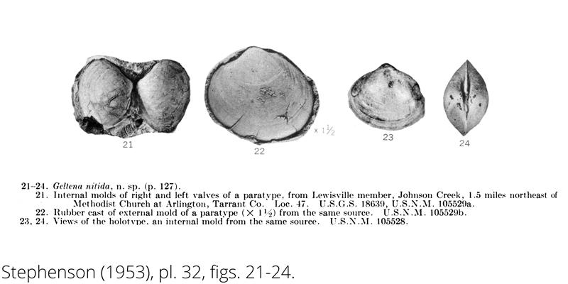 <i> Geltena nitida </i> from the Cenomanian Woodbine Fm. of Texas (Stephenson 1953).