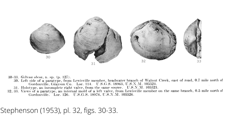 <i> Geltena obesa </i> from the Cenomanian Woodbine Fm. of Texas (Stephenson 1953).