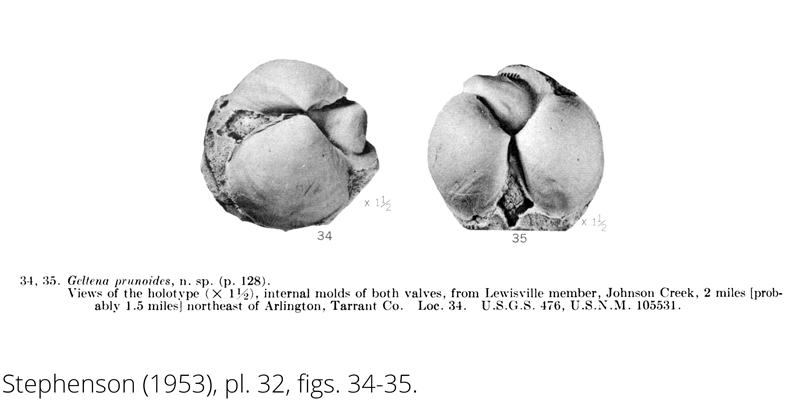 <i> Geltena prunoides </i> from the Cenomanian Woodbine Fm. of Texas (Stephenson 1953).