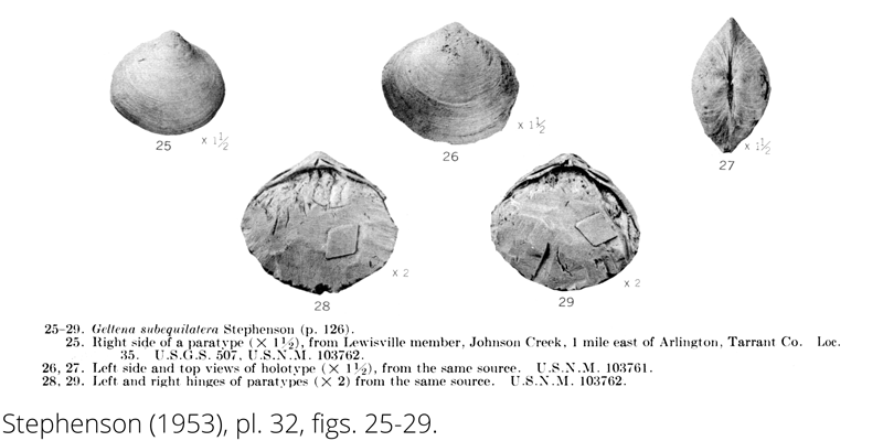 <i> Geltena subequilatera </i> from the Cenomanian Woodbine Fm. of Texas (Stephenson 1953).
