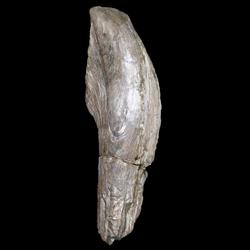 Gervilliopsis ensiformis