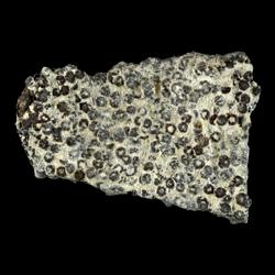 Goniophorus scotti