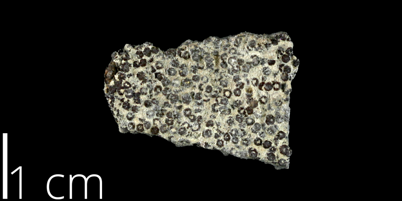 <i> Goniophorus scotti </i> from the Late Cretaceous Del Rio Fm. of McLennan County, Texas (NPL 83005).