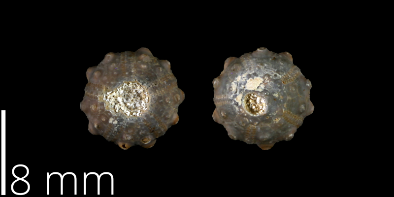 Holotype of <i> Goniophorus whitneyi </i> from the Late Cretaceous of Brewster County, Texas (UT 40566).