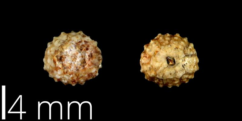 <i> Goniopygus budaensis </i> from the Late Cretaceous Buda Limestone Fm. of Travis County, Texas (UT 39026).