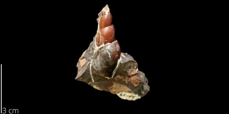 <i> Graphidula culbertsoni </i> from the Maastrichtian Fox Hills Fm. of Dewey County, South Dakota (SDSM 144582).