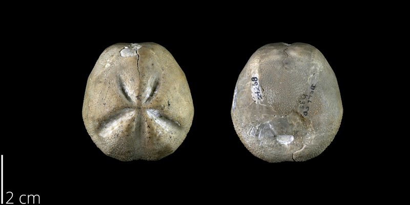 <i> Hemiaster calvini </i> from the Late Cretaceous Grayson Marl Fm. of Bell County, Texas (BEG 21268).