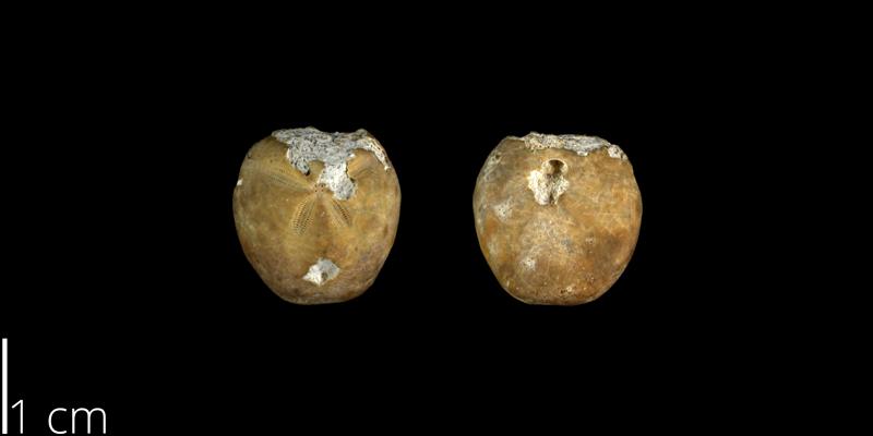 <i> Hemiaster calvini </i> from the Late Cretaceous Buda Limestone Fm. of Travis County, Texas (UT 14133).