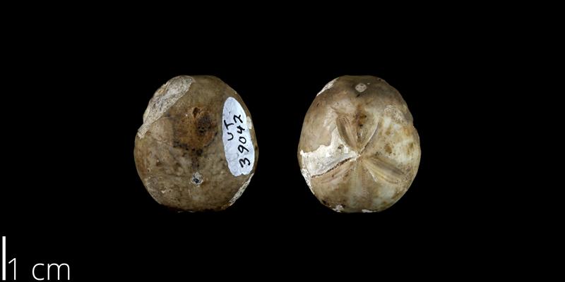<i> Hemiaster calvini </i> from the Late Cretaceous Buda Limestone Fm. of Travis County, Texas (UT 39042).