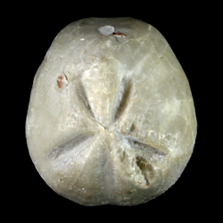 Hemiaster cranium