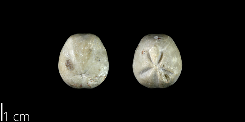 <i> Hemiaster cranium </i> from the Late Cretaceous Buda Limestone Fm. of Travis County, Texas (NPL 83010).