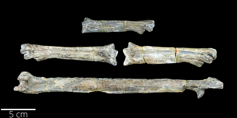 <i> Hesperornis chowi </i> from the Late Cretaceous Pierre Shale of Pennington County, South Dakota (YPM VP 017208).