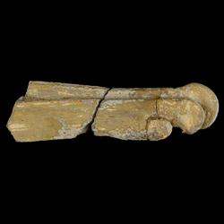 Hesperornis gracilis