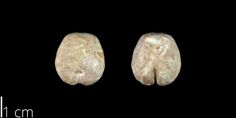 <i> Heteraster traski </i> from the Late Cretaceous Buda Limestone of Hays County, Texas (NPL 83015).
