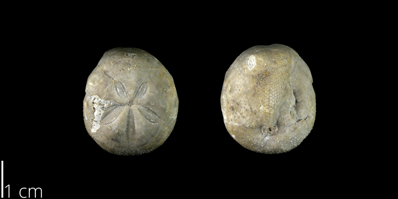 <i> Holanthus texanus </i> from the Late Cretaceous Neylandville Fm. of Travis County, Texas (NPL 70932).