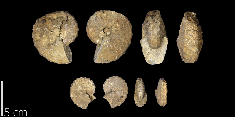 <i> Hystoceras puercoensis </i> from the Late Cretaceous Mancos Shale Fm. of New Mexico (UNM 2432).