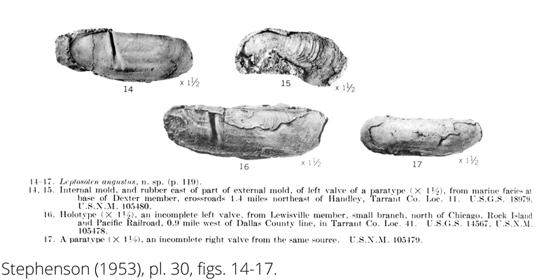 <i> Leptosolen angustus </i> from the Cenomanian Woodbine Fm. of Texas (Stephenson 1953).