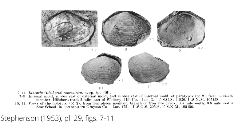 <i> Linearia concentrica </i> from the Cenomanian Woodbine Fm. of Texas (Stephenson 1953).