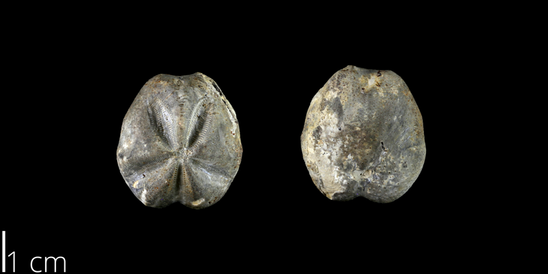 <i> Mecaster batnensis </i> from the Late Cretaceous Eagle Ford Fm. of Travis County, Texas (NPL 83026).