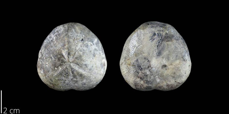 <i> Micraster uddeni </i> from the Late Cretaceous Austin Chalk of Williamson County, Texas (NPL 83027).