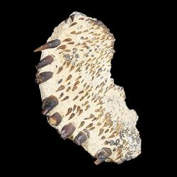 Micropycnodon kansasensis